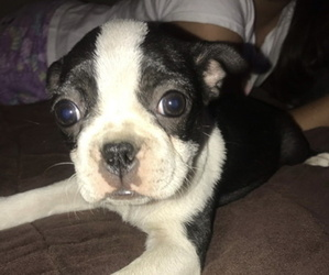 Boston Terrier Litter for sale in NORWALK, CA, USA