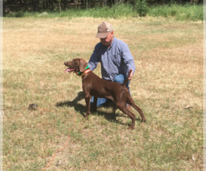 German Shorthaired Weimaraner Litter for sale in SPRING BRANCH, TX, USA
