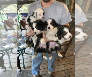 Australian Shepherd Litter for sale in DADE CITY, FL, USA