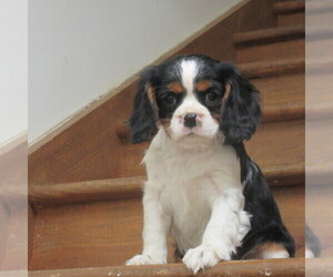 Cavalier King Charles Spaniel Litter for sale in REINHOLDS, PA, USA