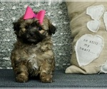 Poodle (Toy)-Shih Tzu Mix Puppy For Sale in WARSAW, IN, USA