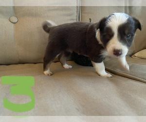 Border Collie Litter for sale in NEW WINDSOR, MD, USA