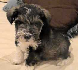 View Ad Schnauzer Miniature Litter Of Puppies For Sale Near Texas