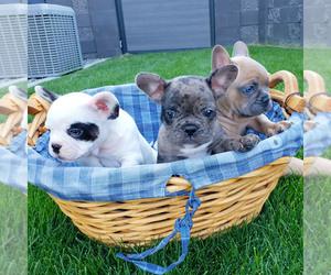 French Bulldog Litter for sale in PASCO, WA, USA