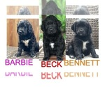 Bernedoodle-English Cream Golden Retriever Mix Puppy For Sale in SUFFOLK, VA, USA