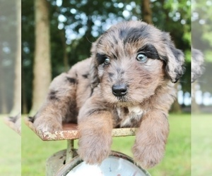 Aussiedoodle Litter for sale in LEXINGTON, AL, USA