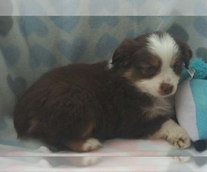 Miniature Australian Shepherd Litter for sale in BELEN, NM, USA
