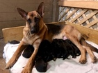 German Shepherd Dog Puppy For Sale in ROANOKE, VA, USA