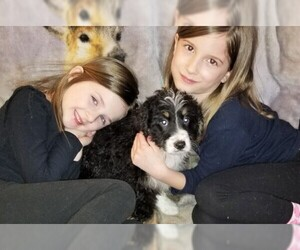 Miniature Bernedoodle Litter for sale in BELLVILLE, OH, USA