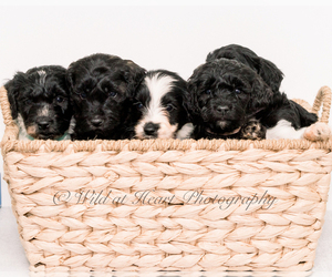 Goldendoodle-Irish Doodle Mix Litter for sale in LITTLE ROCK, AR, USA