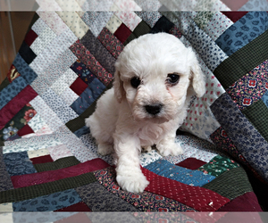 Bichon Frise Litter for sale in PELHAM, NH, USA
