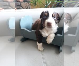 Australian Shepherd Litter for sale in W ALEX, OH, USA