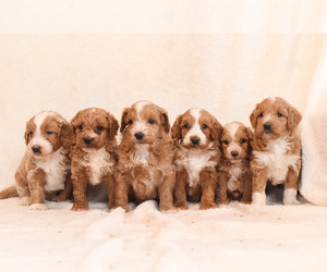 Goldendoodle Litter for sale in MILLERSBURG, PA, USA