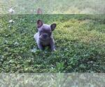 French Bulldog Puppy For Sale in SUGARCREEK, OH, USA