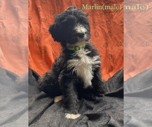 Bernedoodle Litter for sale in WILLMAR, MN, USA