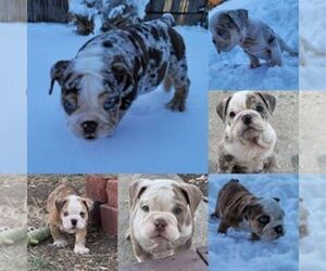 Bulldog Litter for sale in DENVER, CO, USA