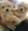 Maltese Puppy For Sale in VAB, VA, USA