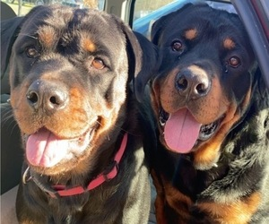 Rottweiler Litter for sale in AIKEN, SC, USA