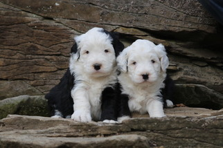 View Ad Old English Sheepdog Poodle Miniature Mix Litter