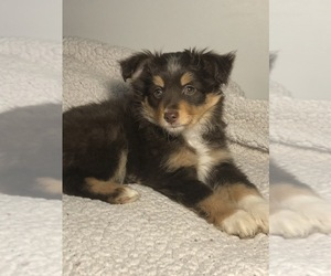 Australian Shepherd Litter for sale in GLUCKSTADT, MS, USA