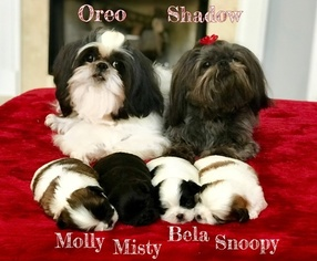 View Ad Shih Tzu Puppy For Sale Georgia Buford Usa
