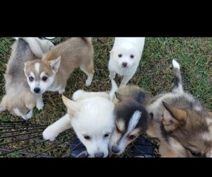 Pomsky Litter for sale in CENTRALIA, MO, USA