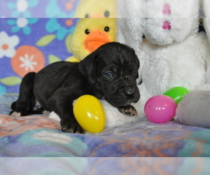 Great Dane Litter for sale in CALDWELL, ID, USA