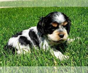 Cocker Spaniel Litter for sale in EDEN VALLEY, MN, USA