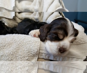 Cocker Spaniel Litter for sale in WEATHERFORD, TX, USA