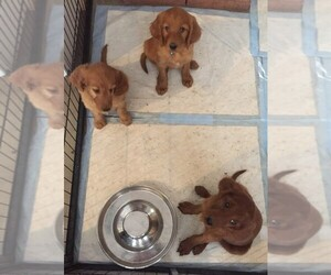 Irish Doodle Litter for sale in NAMPA, ID, USA