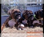 Boxer Puppy For Sale in NEW PORT RICHEY, FL, USA