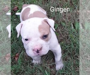 American Bulldog Litter for sale in OPELIKA, AL, USA