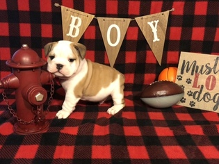 Bulldog Litter for sale in VANCLEAVE, MS, USA