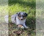 Miniature Australian Shepherd Puppy For Sale in ANTHONY, FL, USA