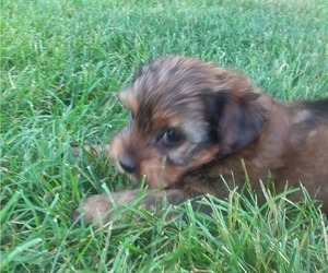 Yorkshire Terrier Litter for sale in SYRACUSE, IN, USA