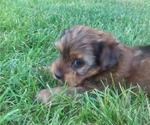 Yorkshire Terrier Puppy For Sale in SYRACUSE, IN, USA