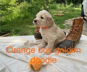 Goldendoodle Litter for sale in BROKEN BOW, OK, USA