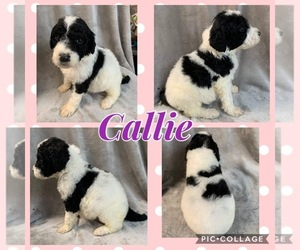 Sheepadoodle Litter for sale in WAVERLY, IA, USA