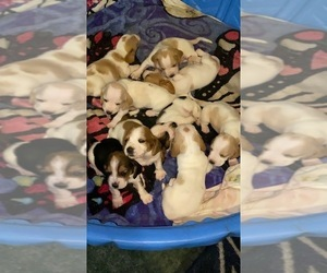 Basset Hound Litter for sale in JEFFERSON, NY, USA