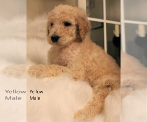 Goldendoodle Litter for sale in GREENFIELD, TN, USA