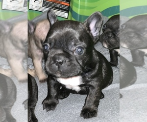 French Bulldog Litter for sale in HIGHLAND, CA, USA
