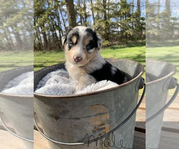 Medium Photo #1 Australian Shepherd Puppy For Sale in GREENBUSH, MN, USA