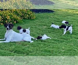 German Shorthaired Pointer Litter for sale in DOSS, TX, USA