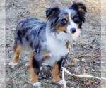 Miniature Australian Shepherd Puppy For Sale in SAYLORSBURG, PA, USA