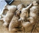 Golden Retriever Puppy For Sale in MARANA, AZ, USA