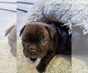 French Bulldog Litter for sale in SPFLD, MA, USA