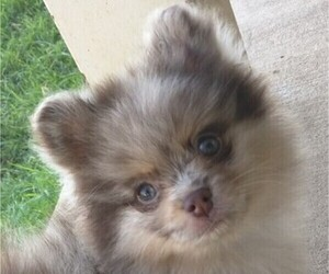 Pomeranian Litter for sale in DECATUR, TX, USA