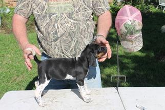 Puppyfinder com: Bluetick Coonhound puppies puppies for sale