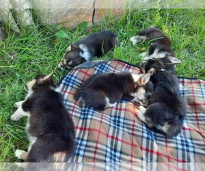 Pembroke Welsh Corgi Litter for sale in BOLCKOW, MO, USA