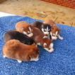 Siberian Husky Puppy For Sale in GAR CREEK, IN, USA